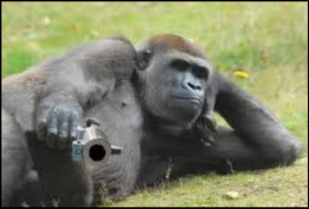 Gorilla with gun