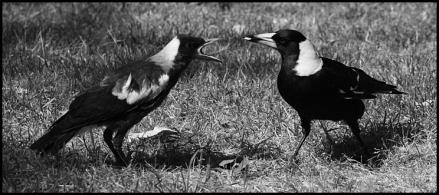 Two Australian_Magpie_feeding ADJ BW